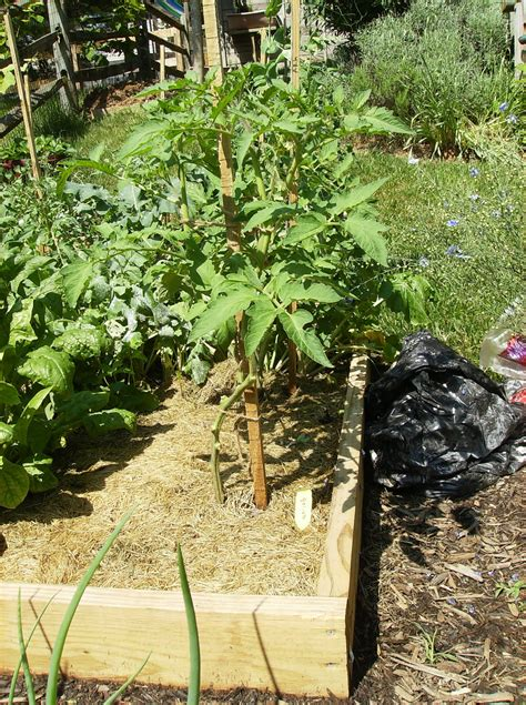 three finger method to pruning tomatoes in pictures the poetic vegetable garden