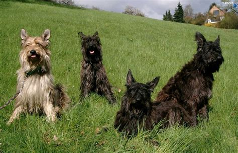 four dogs berger picard berger de picardie picardy shepherd dogs breeds picture