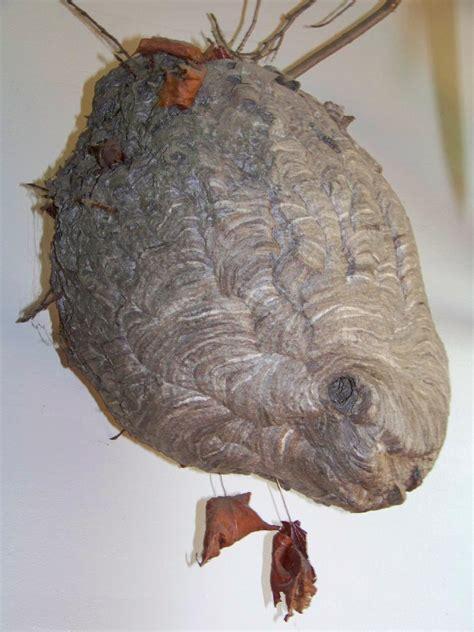 Bees That Make Paper Nests - paper wasp nest vs hornet nest