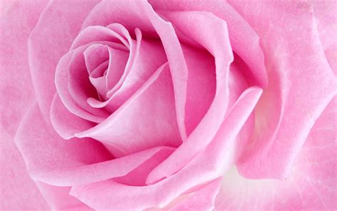 live wallpaper pink rose pink rose live wallpaper android apps on google play