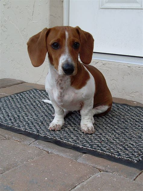 Datsun Puppies by Watson Datsun Our Piebald Dachshund Can T A Puppy
