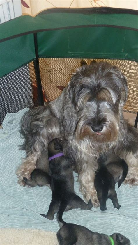 standard schnauzer puppies for sale salt pepper standard schnauzer puppies south east pets4homes