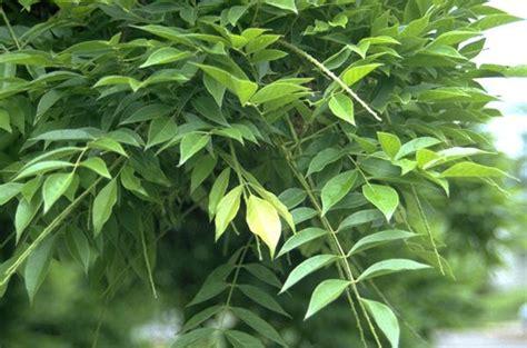 chinese wisteria oregon state univ landscape plants