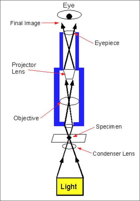 how does a light microscope work the compound light microscope