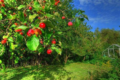 apfelbaum im garten apfelbaum im garten stockfoto colourbox