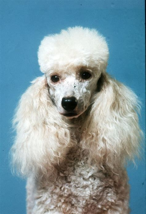 tiny poodle lifespan 20 amazing facts as you secret of dogs