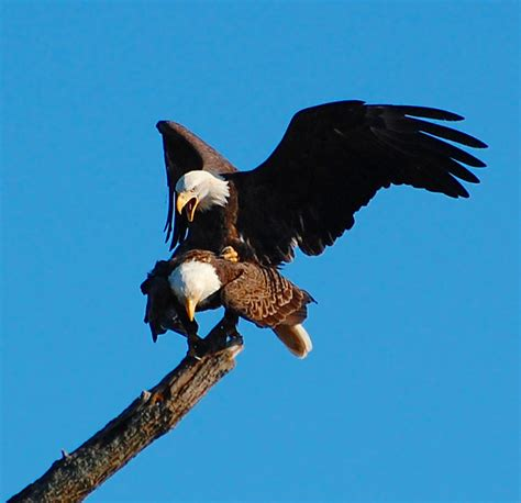 bald eagles mating suzanne britton nature photography mating eagles