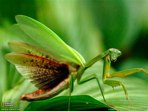 insectanatomy free insect animal pictures gallery praying mantises images praying mantis wallpapers