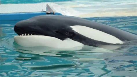 la ballena ballena orca www pixshark com images galleries with a bite