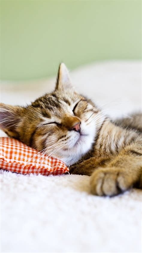 wallpaper cat cute animals sleep  animals
