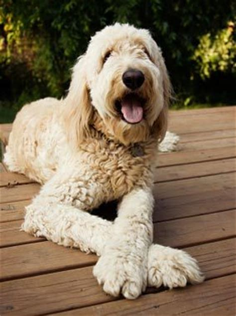 goldendoodle puppy behavior problems goldendoodle information and facts breeds picture