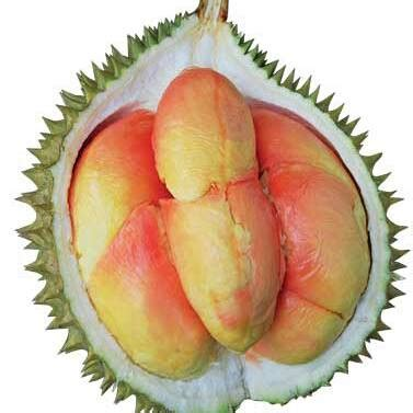 Cp Pelangi by Bibit Durian Pelangi Manokwari Cp 085 625 80 446 Home