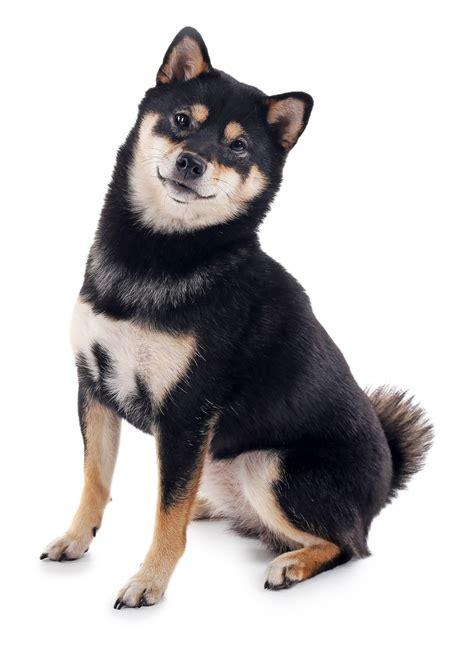 black and shiba inu puppy best food for shiba inus my shiba inu