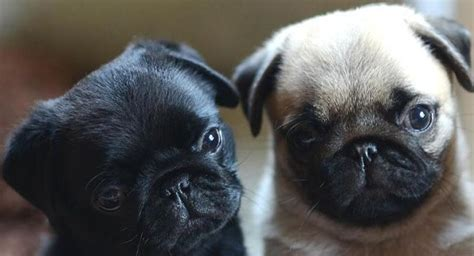 fawn pug puppies black fawn pug puppies pug fawn pug puppys and pug