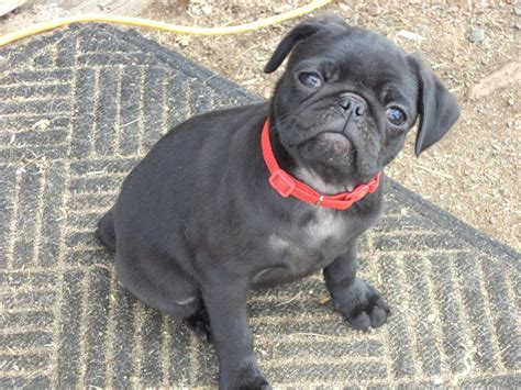 four square pugs four square pugs pet stores osceola wi photos yelp