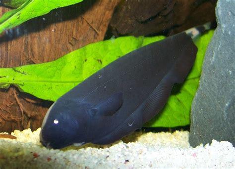 black ghost fish jomuz s freshwater fish photo id 11293 full version