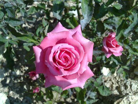 imagenes de rosas reales rosas anica s blog
