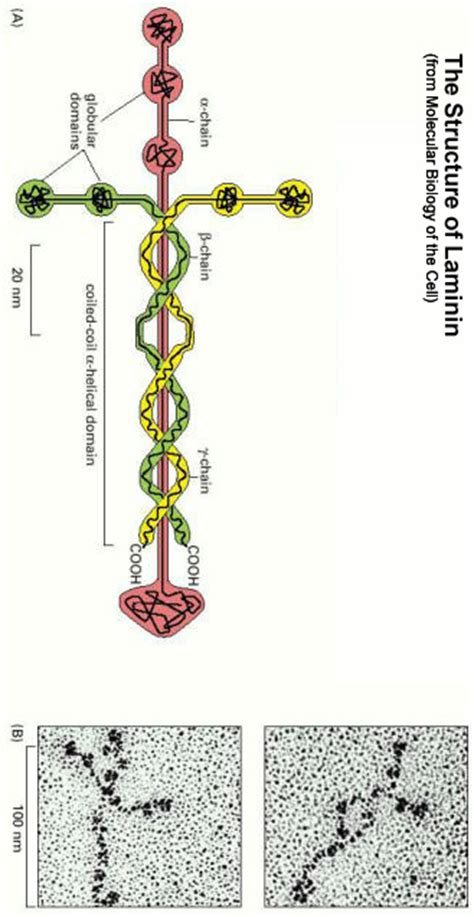 protein laminin 301 moved permanently