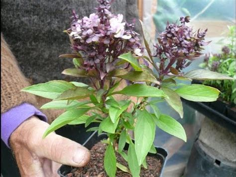 plant layout hindi meaning how to basil plant care urdu hindi youtube