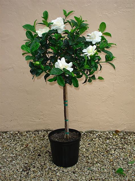 Gardenia Bush Care Lawnboyz Lawn Care Landscaping Inc