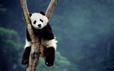 desk top pictures panda desktop wallpaper