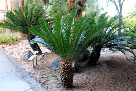 Aiuole Con Cicas la cycas piante da giardino caratteristiche della cycas