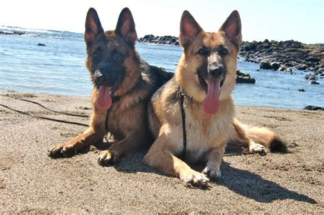 german shepherd puppies for sale oahu german shepherd breeders oahu dogs our friends photo
