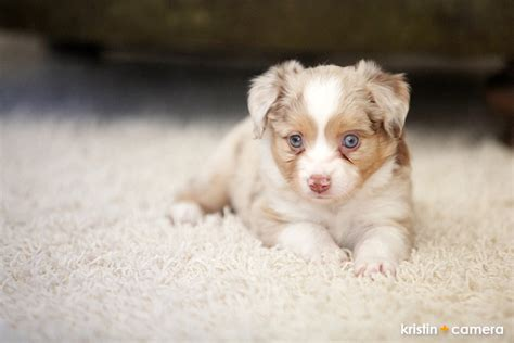 puppies for sale in lubbock pin australian shepherd puppies for sale on