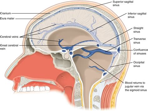 cavity diagram diagram of sinus cavities in anatomy organ