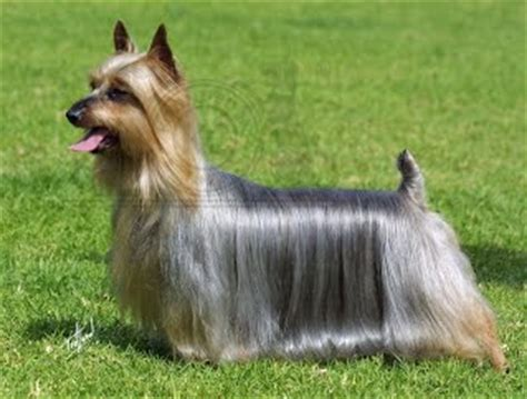 difference between yorkie and silky terrier difference between silky terrier and terrier breeds picture