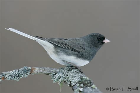 questions about cassiar dark eyed juncos