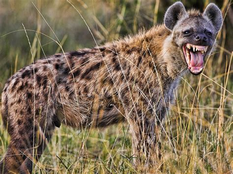 images of hyenas 10 deadliest animals