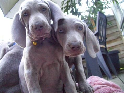 grey vizsla dog bing images dogs pinterest grey