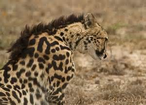 what color is a cheetah a king cheetah which is not a separate breed just a