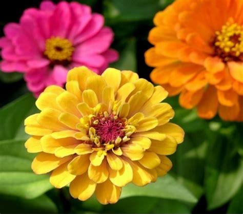 Tanaman Jadi Bunga Zinnia Pink tips cara merawat bunga zinnia yang baik benar