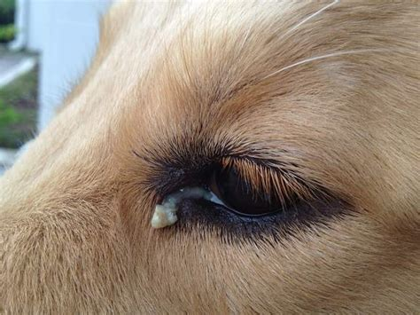 golden retriever eye discharge eye discharge golden retrievers golden retriever forums
