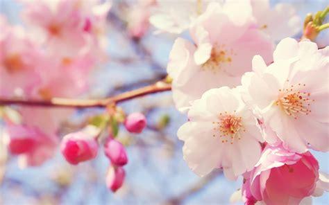 flowers sky nature light plant bloom hd wallpapers der maler 187 fr 252 hlingsanfang 2015