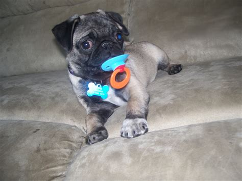 where to get a pug pugpugpug how could i convince mo to get me a pug