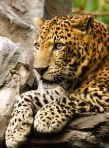 Describe A Jaguar Panthera Jaguars Leopard