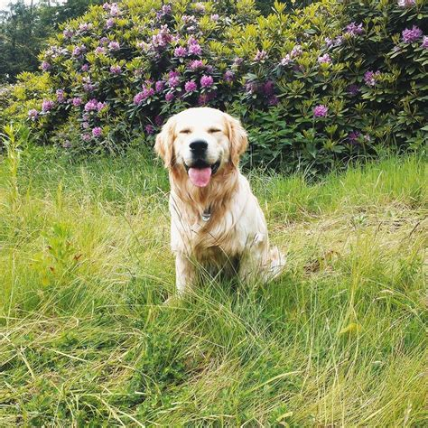 great golden retriever names 10 best golden retriever names
