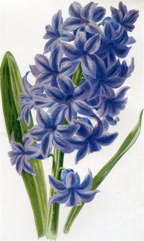 hyacinth tattoo designs 197 best hyacint images on flower watercolor