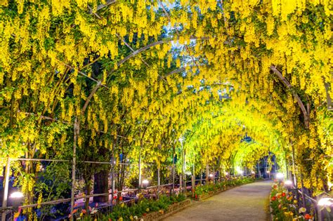 wisteria color wisteria flower meaning flower meaning