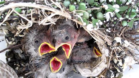 Baby Birds Utah House Finch Youtube