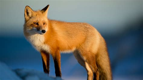 best fox pictures picalls fox in the snow by hennessy