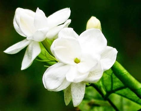 Madu Putih manfaat bunga melati untuk kecantikan jayaherlambang
