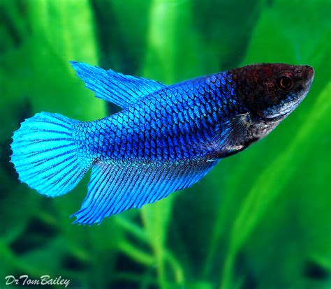green lights for sale betta for sale