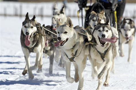 alaskan sled dogs mush experience alaskan sledding alaska adventure