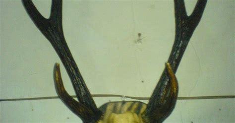 Barang Antik Tanduk Rusa ayam hutan merah kasintu tanduk rusa 1 2 abad