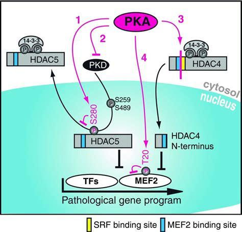 protein kinase a function how protein kinase a pka acts on class ii hdacs 1 pka