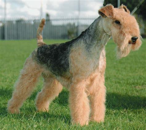 lakeland terrier puppies species terriers
